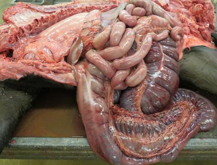 Salmonella veulen